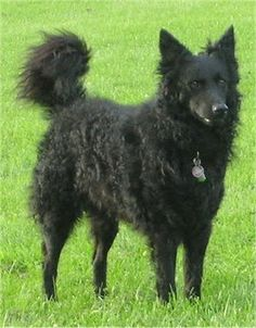 Another Famous Hungarian dod breed - the Mudi. It is a herding breed related to the Puli and Komondor. They stand about 40cm tall, and weigh 8-13 kg.
