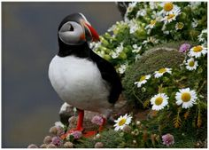 Puffin of West fjords