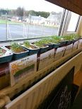 Science Cress Seed planting with Infants Cress, Planting Seeds, Infants, Science, Teaching, Kids, Seed Starting, Babies, Flag