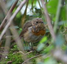 A few years ago I became attached to a wee Robin that lived in my hedge, a relationship that ended in a tragedy that competes with Romeo and Juliet for pathos with me cast as the villain. Baby Robin, Mermaid Purse, Romeo And Juliet, The Villain, Mermaids, It Cast, Relationship, Blog, Blogging