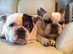 Bell & Carla, French Bulldogs