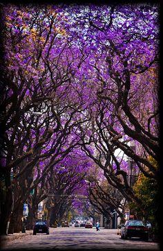 Jacarandas en la calle Beistegui D.F. mexico city #mexico| df | chilango | pachucochilango.com