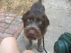 My German Wirehaired pointer puppy Whiskey.