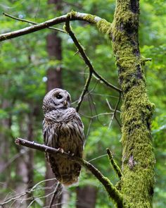 Barred Owl Perched b Evan Olson Spotted Owl in Muir National Monument near San Francisco