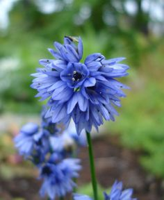 Full sun to part shade, but well drained soil. Grows to 6 inches, perfect for a rockery. Deer Resistant Garden, Halloween 1, Plant Species, Allium, Shades Of Blue, Blue Flowers, Garden Landscaping, Planting Flowers, Flowers
