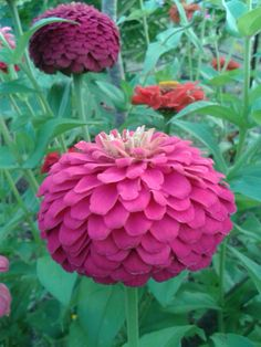 Zinnia elegans Zinnia Elegans, Zinnias, Presents, Rose, Flowers, Plants, Gifts, Pink, Favors