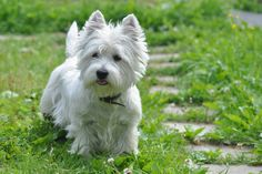 West Highland White Terrier looks just like Haley . Woof
