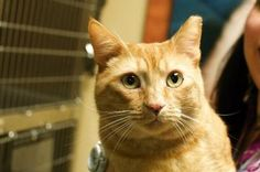 GARFIELD, JUNI and MARIA are FIV+ kitties ready to find loving homes. With a good diet and stable environment, cats with FIV can live long, healthy lives. FIV can only be transmitted between felines; this virus does not affect other species.
