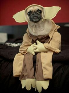 As if pugs aren't already the ugliest animals, let's add a yoda costume. Funny Dogs, Cute Dogs, Funny Animals, Cute Animals, Baby Animals, Yoda Funny, Yoda Dog Costume, Pet Costumes, Pug Halloween Costumes