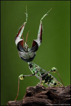 Mantis - I will surviiive!