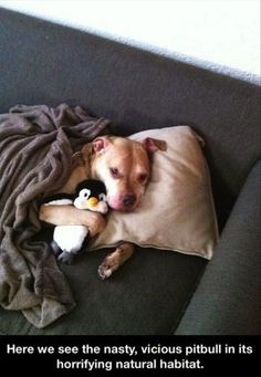 "This is exactly what my ""mean pit bull"" Bubba would do if he could get his paws on these, all 100 lbs of sloppy love :)"