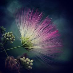 """~Mimosa Tree~ The Mimosa Tree, Persian Silk Tree, or Albizia julibrissin, has such pretty flowers. The Persian name means """"night sleeper,""""… Beautiful Rose Flowers, Amazing Flowers, Persian Silk Tree, Albizia Julibrissin, Where The Sidewalk Ends, Small Trees, Tropical Garden, Flower Pictures, Container Gardening"""