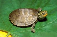 Northern Map Turtle baby...