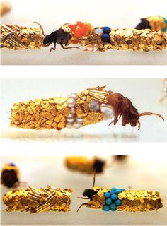 Caddis fly larvae protect their developing bodies by building themselves sheaths of silk and incorporating substances found in their habitats. Artist Hubert Duprate placed a group of Caddis fly larvae into a tank with gold and other precious substances for the larvae to spin into their sheaths.