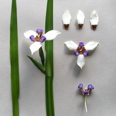 N E O M A R I C A . gracilis collected at Aberfoyle . Known as ' The Walking Iris' once it has finished flowering young plants sprout next to the faded blooms which weigh down the flowering stem allowing the new plants to take root thus it's common name. The flowers have a lovely scent not unlike Lily of the Valley. #neomaricagracilis #neomarica #walkingiris #iris #iridaceae #aberfoyle #hondevalley #zimbabwe #mexicannative #lilyofthevalley #muguet #scent #perfume #iris #dayiris #morea…