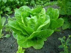 How to Grow Lettuce - The Homestead Garden (I know a bit about lettuce but some of this info may be helpful!)