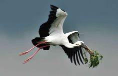 carrying nesting material Bird Gif, Long Legs, Habitats, Dog Cat, Creatures, Birds, Drawings, Storks, Beautiful