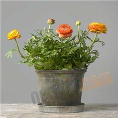 Ranunkel orange - Potteplanter