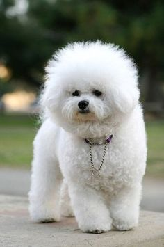 Bichon Frise Dog #dogs #animal #bichon #frise