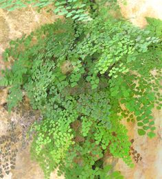 How to care for maidenhair ferns