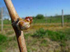 L'éclatement du bourgeon de vigne au printemps est toujours un moment magique : remarquez les détails caractéristiques : pointe rose, aspect cotonneux