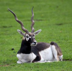 blackbuck antelope - Google Search