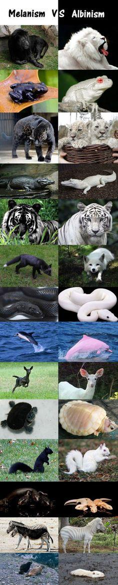 Melanism vs. Albinism.