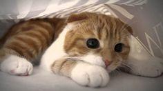 Resultado de imagem para imagens de lindos gatos de raça