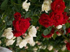 Red roses, white roses.