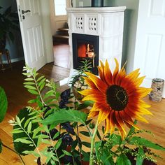 Kaminfeuer im August - hoffentlich kann die Sonnenblume den Sommer nochmal hervorlocken....