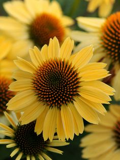 "'Sombrero Sandy Yellow' Coneflower bright yellow flowers have an excellent bloom time. Height only 24""."