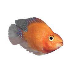 Blood-Red Parrot Cichlid   Live Fish   PetSmart