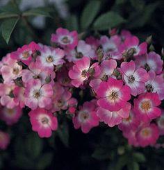 Hybrid musk rose (Rosa 'Mozart')