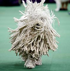 2015 Westminster Dog Show Fancy free This dog always amazes me ♥ A Komondor runs during competition in the Working Group, at the139th Westminster Kennel Club Dog Show, at Madison Square Garden in New York on Feb. 17