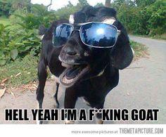 funny-goat-sunglasses-cool.jpg (520×430)