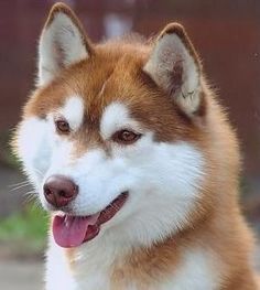 Life with a Siberian husky Red Siberian Husky, Red Husky, Siberian Huskies, Copper Husky, Husky Pics, Dog Rules, Cool Cats, Dachshund, Dog Cat
