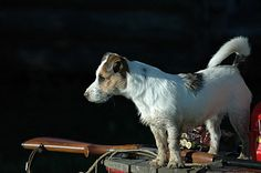 jack russell :]
