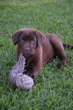 Rope toy, what rope toy? Labrador Puppies, Labrador Retriever, Labradors, Labs, Cute Dogs, Cute Animals, Toy, Chocolate, Friends