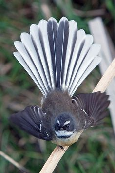 This amazing little creature, the New Zealand Fantail, weighs 8 grammes. Fantail by TriPodRoD. Also known by its Maori name Piwakawaka Kinds Of Birds, All Birds, Little Birds, Love Birds, Pretty Birds, Beautiful Birds, Animals Beautiful, New Zealand Tours, New Zealand Art