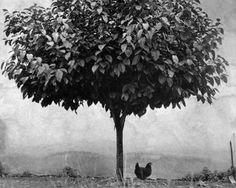 Edouard Boubat (Fr. 1923-1999),L'arbre et la poule, 1950 France,photographie