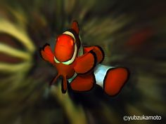 ClownFish south bolaang mongondow regency north sulawesi - indonesia