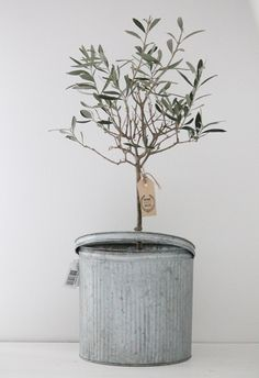 an olive tree / symbolic of peace