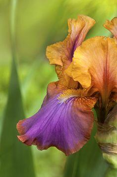 Bearded iris 'Megabucks'