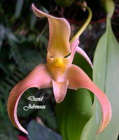 Bulbophyllum polystictum