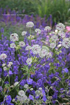 New Nice Adorable Flower Fragrant Seeds Pianta fiorisce Blue Clover UTAR