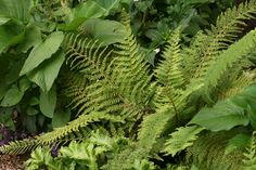 Polystichum divisilobum (Soft Shield Fern). Good contrast with rhodos and sarcococca,