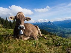 Von Goldau nach Sattel bin ich auf einer abwechslungsreichen Wanderung auf der dritten Etappe des Schwyzer Höhenweg unterwegs. Der Bus, Switzerland, Cow, Animals, Cowbell, Flims, Animales, Animaux, Animal Memes