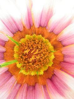 Sunny Pink Gazania Daisy by Mary Sedivy