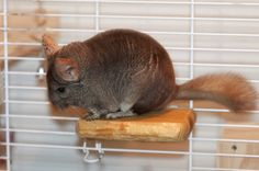 Learn how to make ledges for your chinchilla's cage.