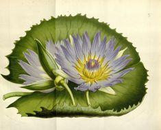 Nymphæa scutifolia